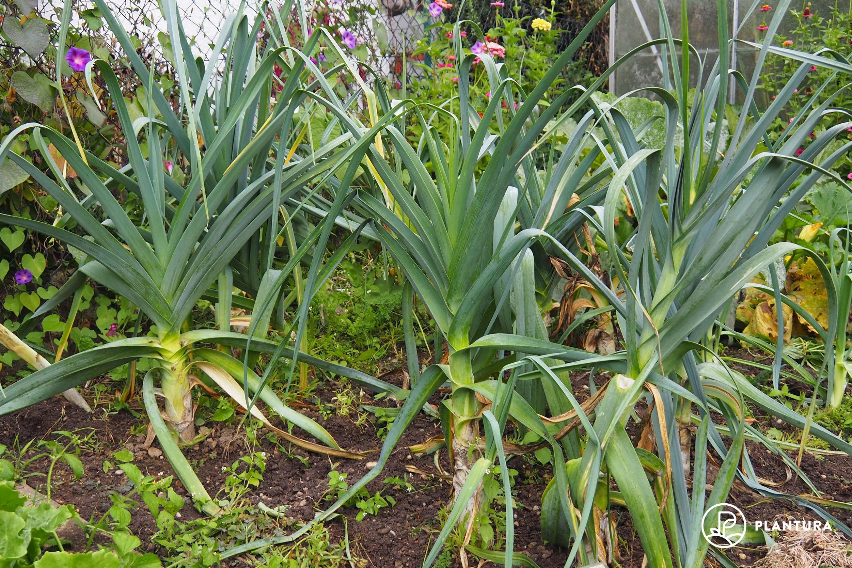 Lauchpflanzen im Gartenbeet