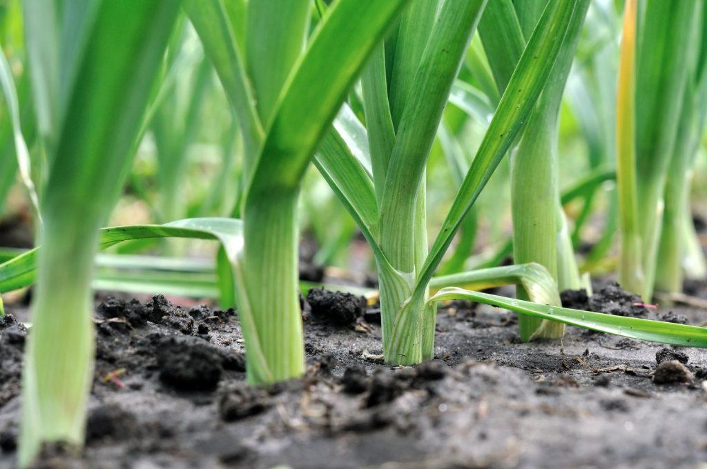 Lauch in der Erde gepflanzt