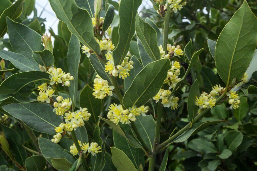 gelbe Lorbeer-Blüten