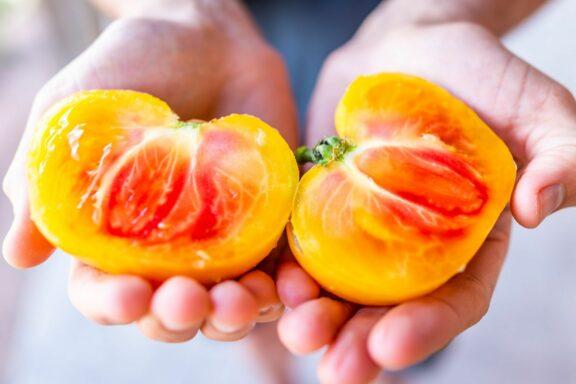 Oaxacan Jewel: Die Tomate im Garten pflanzen & pflegen