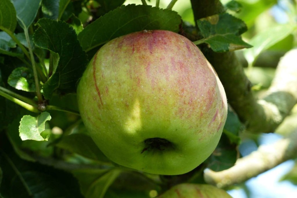 Apfelsorte 'Ontario'