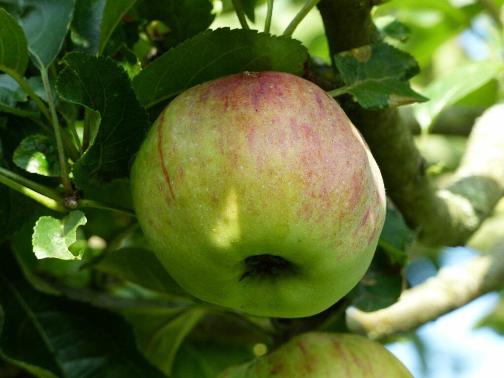 Ontarioapfel am Apfelbaum