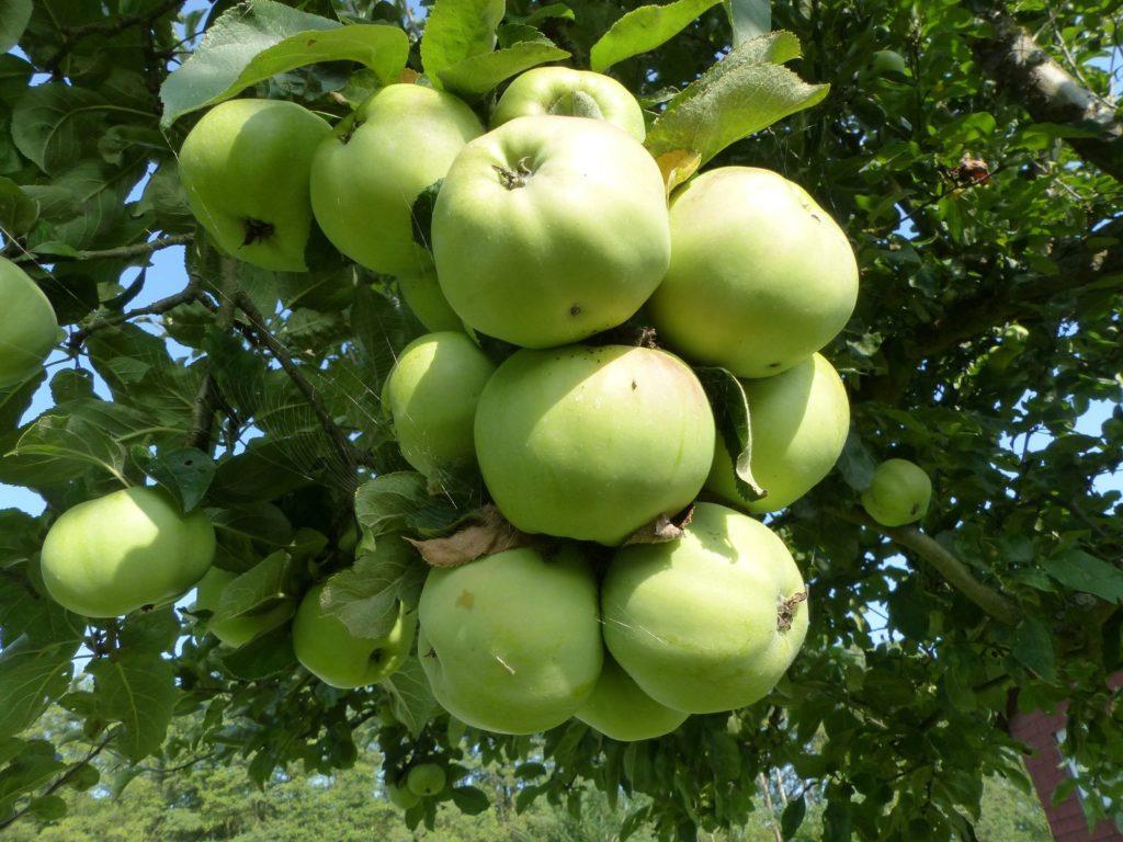 Ontarioäpfel hängen am Apfelbaum