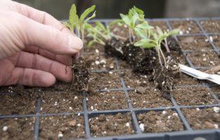 Tomaten: Aussäen, Pikieren Und Auspflanzen