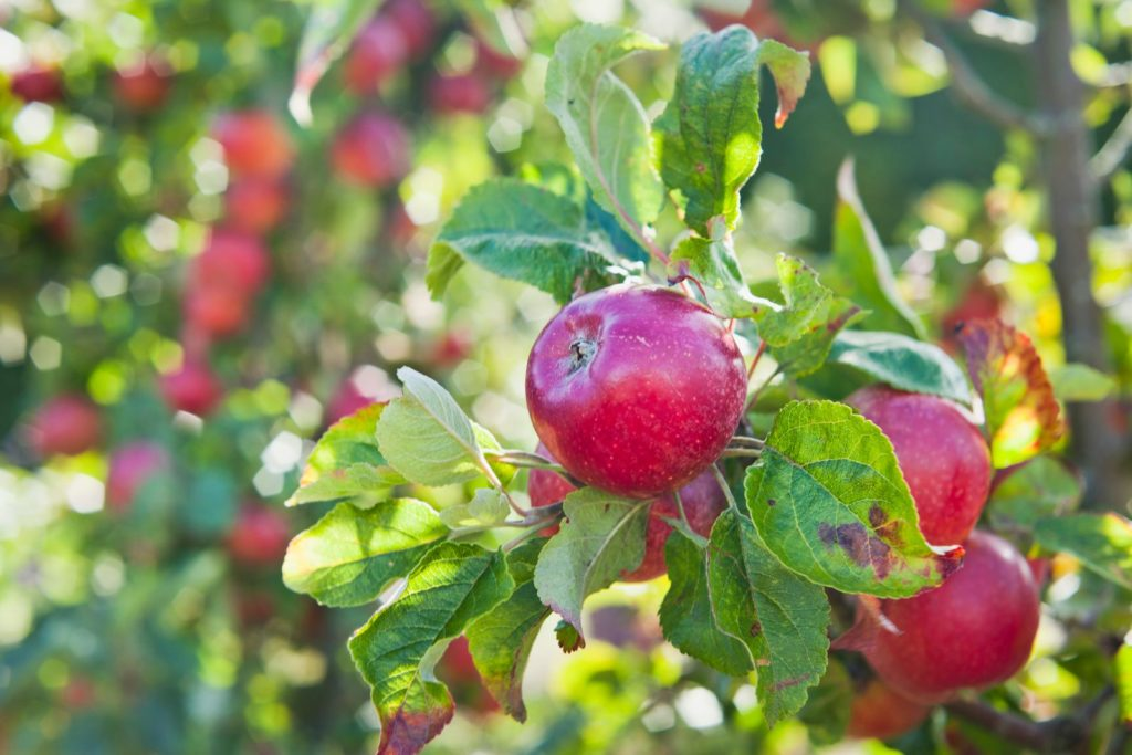 Red Jonaprince Äpfel am Baum