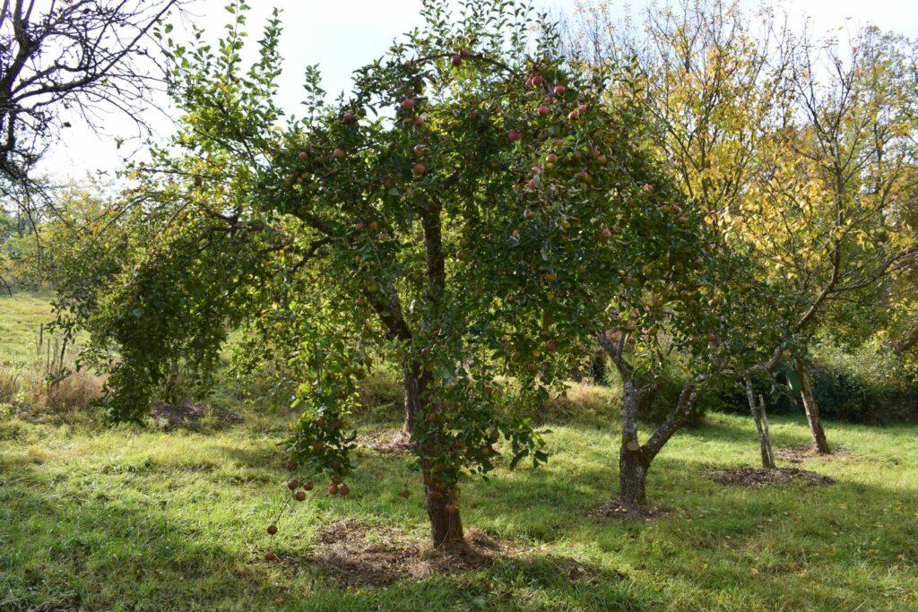Apfelbaum Rheinischer Winterrambur in einem Obstgarten