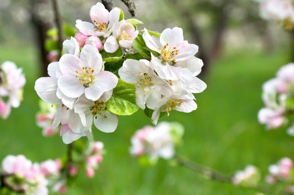 Apfelbaum-Blüte