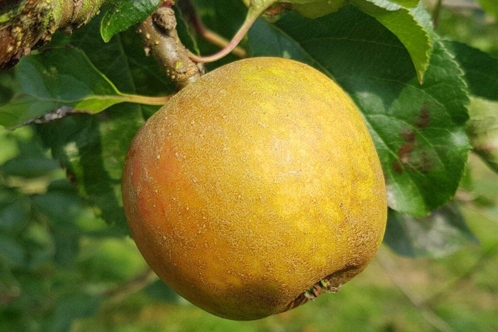 Ribston-Pepping-Apfel am Baum