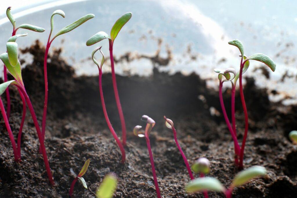 Rote-Bete-Jungpflanzen