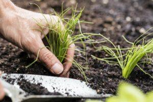 Schnittlauch pflanzen: Standort, Erde & Vorgehen
