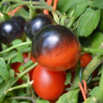 Tomatensorte Schwarz-Rote Kugel Sonnenseite Schwarz Schattenseite Rot