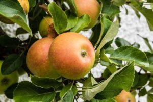 Schweizer Orangenäpfel Am Baum