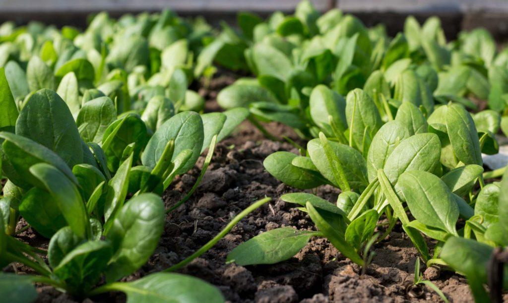 Spinat wächst auf Feld