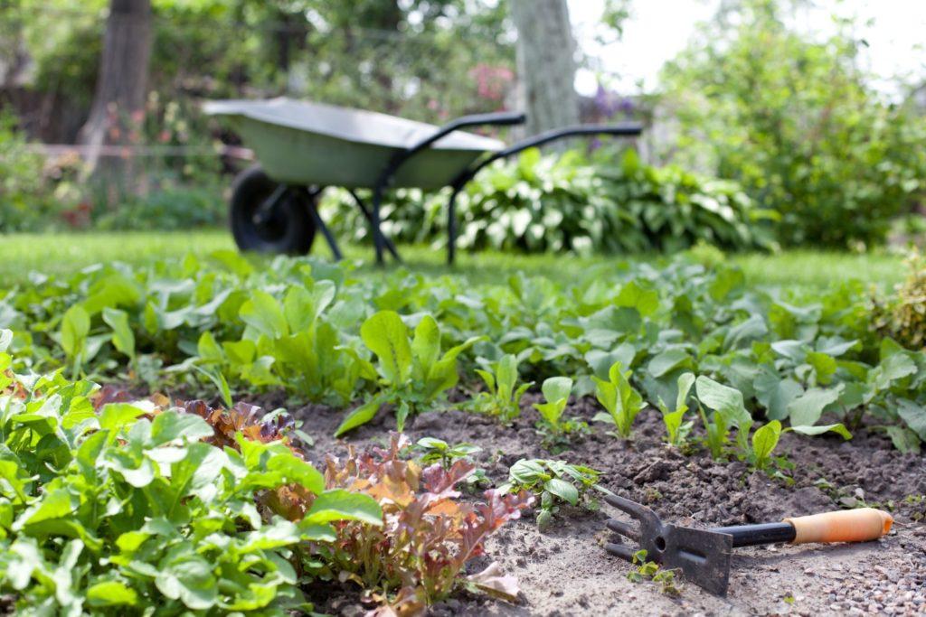 Erntereifer Spinat in einem Garten