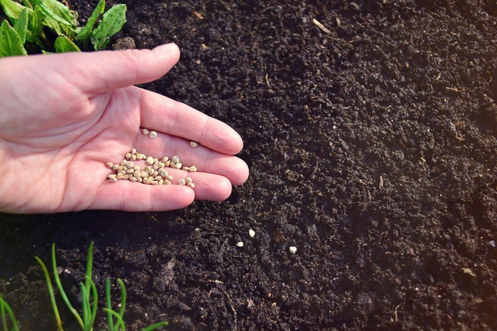 Spinat-Samen auf Erde