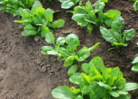 Spinat Wächst Im Garten