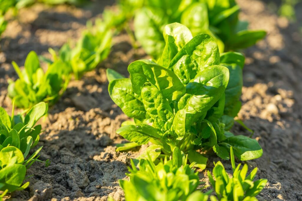 Grüner Spinat in einem Beet wachsend