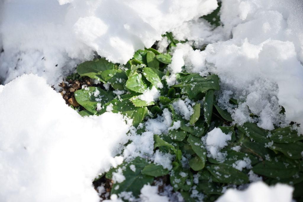 Spinat unter Schneeschicht
