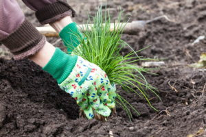 Schnittlauch Pflanzen In Erde Hände Mit Gartenhandschuhe