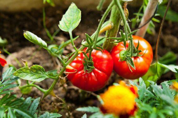 Big-Beef-Tomate: Aussehen, Geschmack & Verwendung