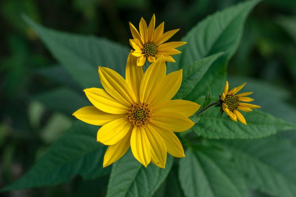 Blüte des Topinambur