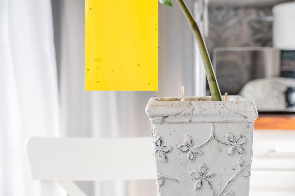 Zimmerpflanze mit Trauermückenbefall