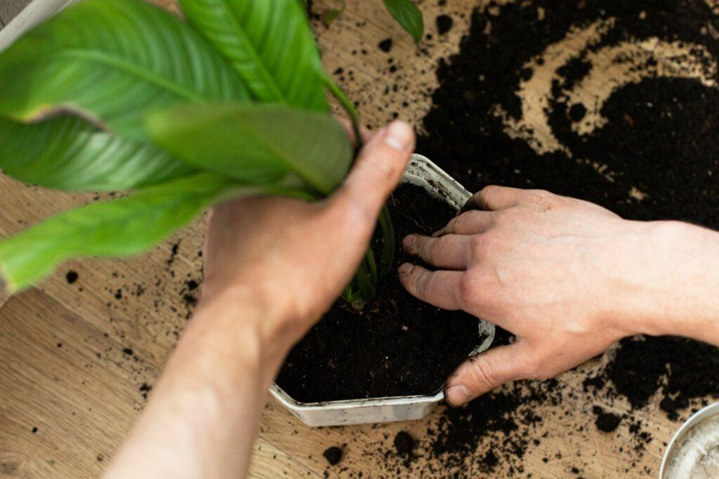 Umtopfen einer Pflanze