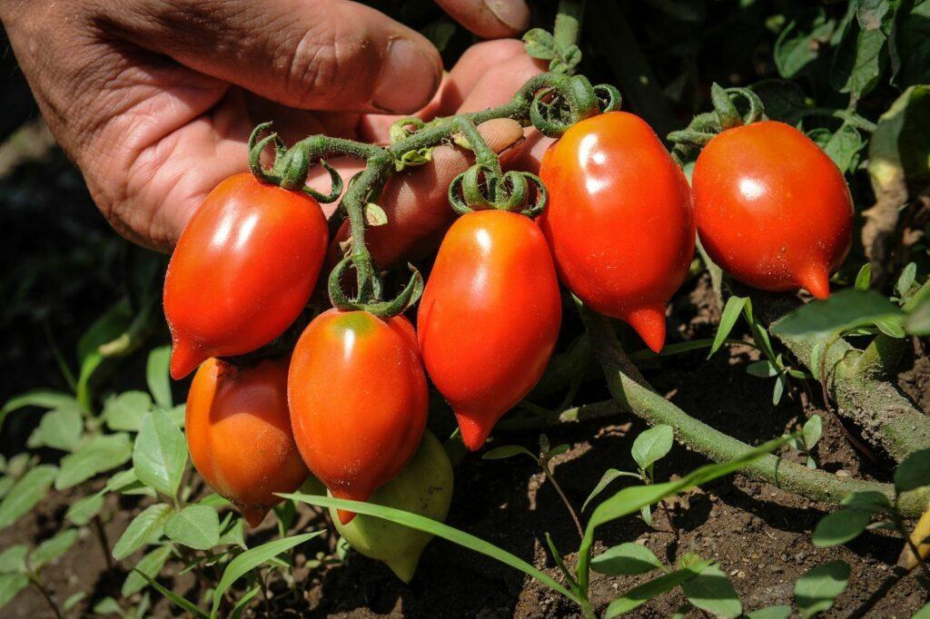 Venusbrüstchen: Die Tomate im Garten pflanzen & pflegen
