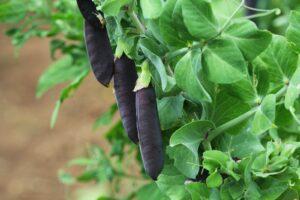 Violette Erbsenschoten Im Garten