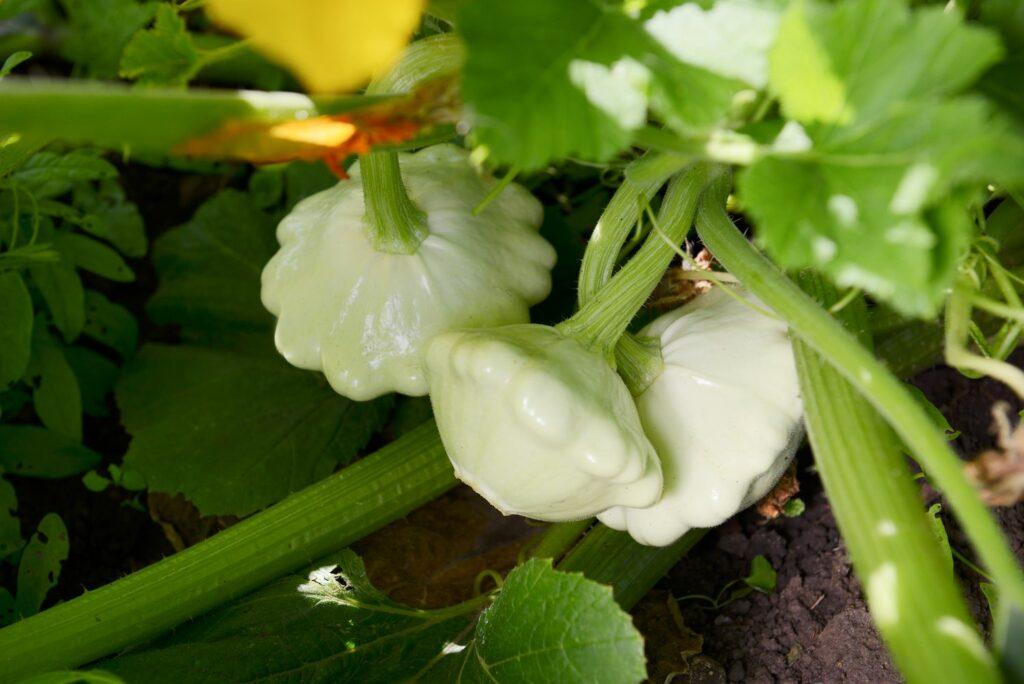 weiße Zucchinisorte