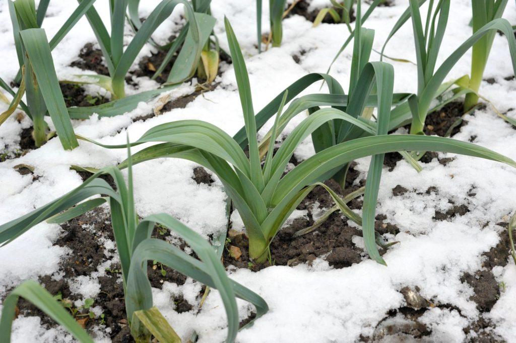Winterlauch im Schnee