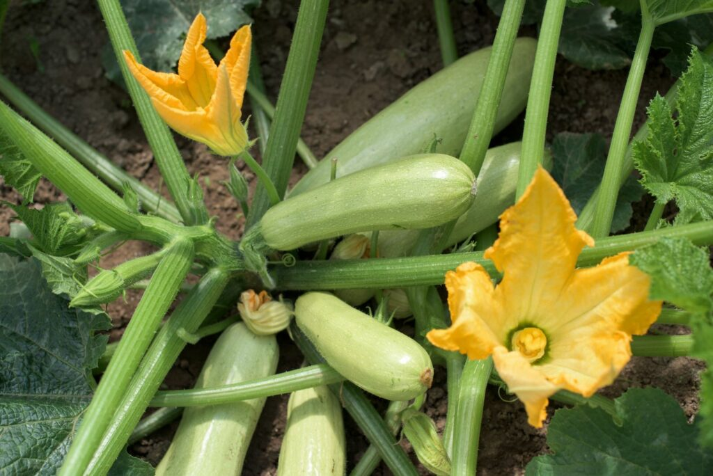 reife, hellgrüne Zucchini im Beet