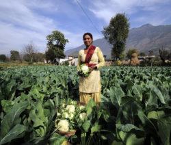 14Blumenkohl Stammt Aus Indien