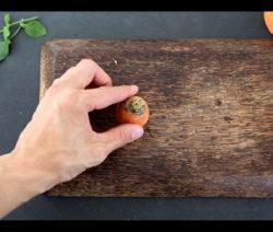 Abschnitt Der Karotte Möhre Vermehren Und Bewurzeln