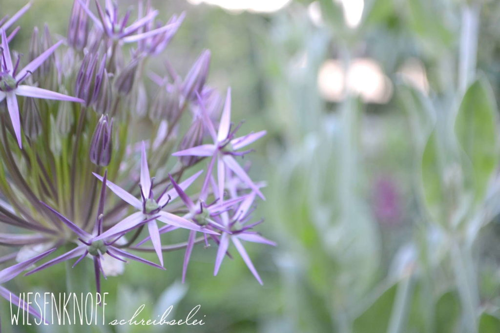 Allium christophii in voller Blüte
