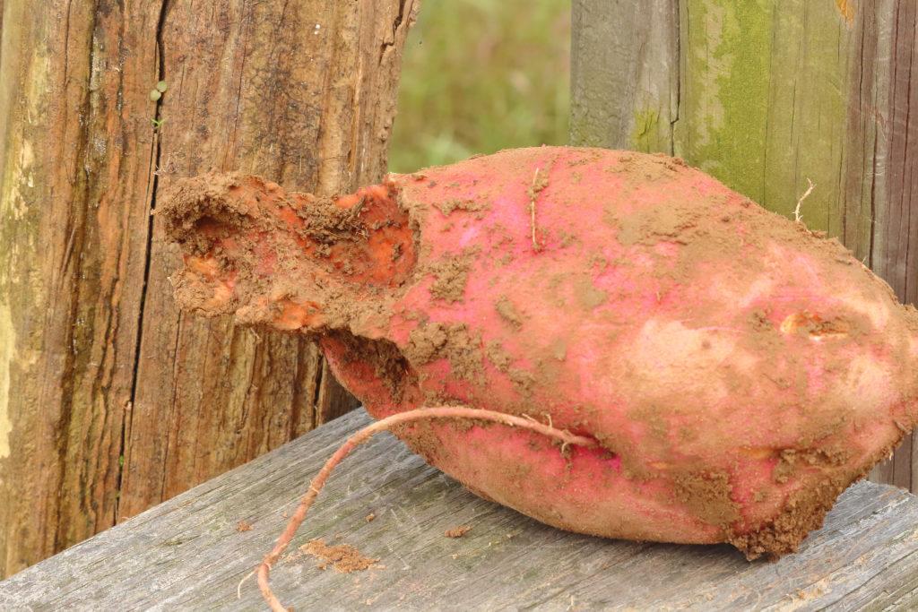 Angefressene Süßkartoffel im Garten