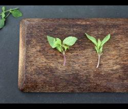 Basilikum Blätter Für Stecklinge Entfernen