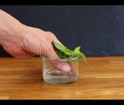 Basilikum In Wasserglas Bewurzeln Lassen