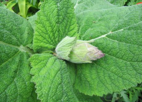 Muskatellersalbei Blätter