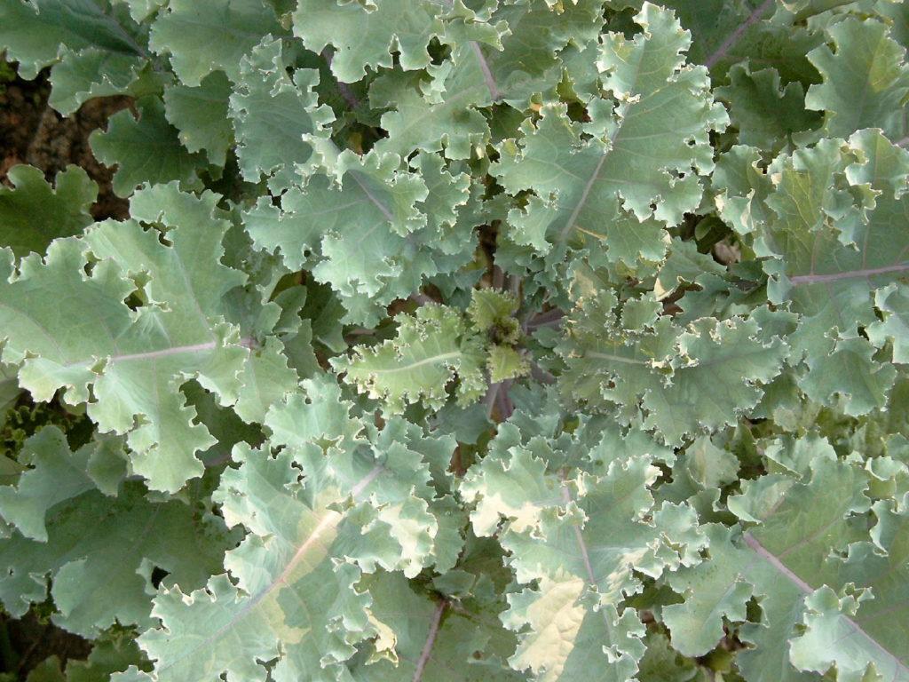 Markstammkohl als gesundes Gemüse