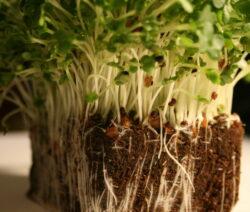 Brunnenkresse In Substrat