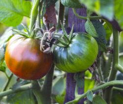 Gestreifte Buschtomate Tomate Rot Und Grün