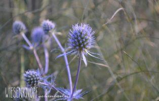 Mannstreu Eryngium Blaue Blüte