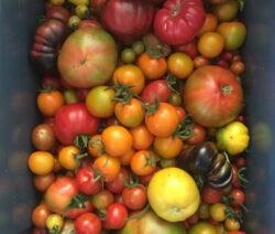 Ernte Verschiedener Tomatensorten Freiland