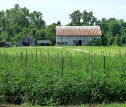 Freilandanbau Von Tomaten Im Feld