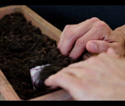 Zwiebel Rest Abschnitt In Erde Einpflanzen