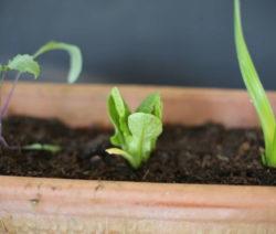 Nachwachsender Romana-Salat Aus Gemüseabfall