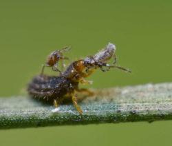 Insektenkampf Marienkäferlarve Vs. Blattläuse