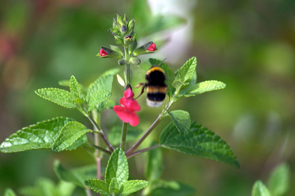 rote Blüte des Johannisbeerensalbei