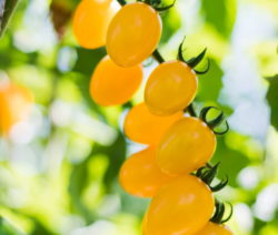 Kirschtomate Gelbe Tomaten